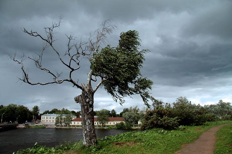 Такое необычное дерево растет у стен Выборгского замка
